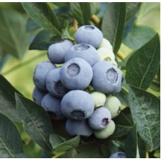 Голубика садовая (Vaccinium corymbosum Denise Blue P9)