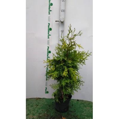 Туя западная (Thuja occidentalis Salland C2 30-40)