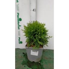 Туя западная (Thuja occidentalis Danica C2 20-25)
