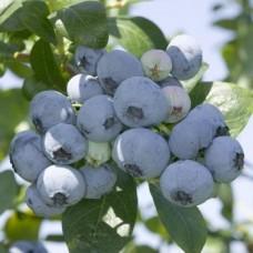 Голубика садовая (Vaccinium corymbosum Nelson P10)