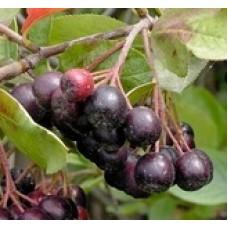 Арония черноплодная (Aronia melanocarpa Hugin P9)
