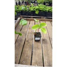Земляника садовая (Fragaria/Pineberry ananassa Candiss P9)