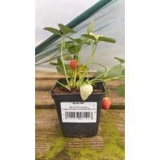 Земляника садовая (Fragaria/Pineberry ananassa Clery P9)
