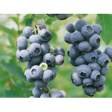 Голубика садовая (Vaccinium corymbosum Duke P9)