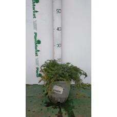 Можжевельник горизонтальный (Juniperus horizontalis Prince of Wales C2 20-25)