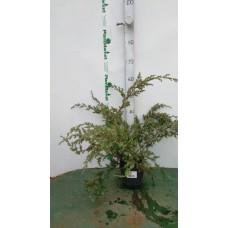 Можжевельник китайский (Juniperus chinensis Blue Alps C2 25-30)