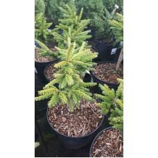 Ель восточная (Picea orientalis Barnes C3 20-30)