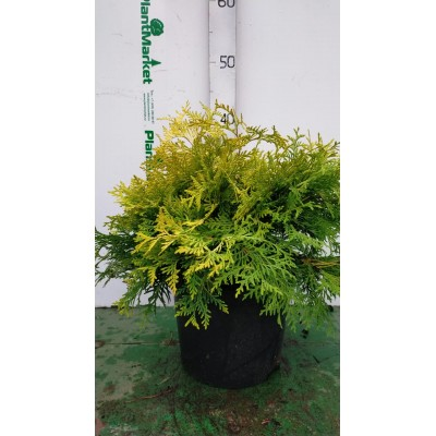 Туя западная (Thuja occidentalis Golden Globe C5 30-40)