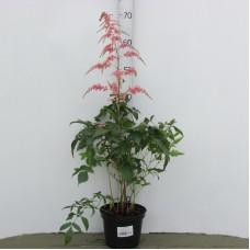 Астильба японская (Astilba japonica Peach Blossom C2)