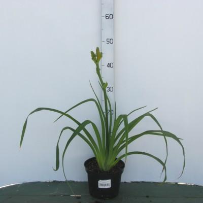 Лилейник (Hemerocallis Indian Paintbrush C2)