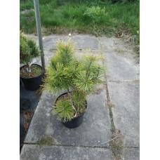 Сосна горная (Pinus mugo Golden Glow C3)