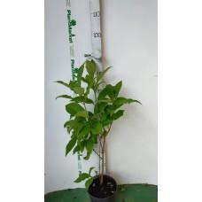 Сирень венгерская (Syringa josikaea C3 40-60)