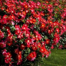 Роза (Rose Candia Meidiland C1,5 20-25)