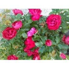 Роза (Rose Colossal Meidiland C1,5 20-25)