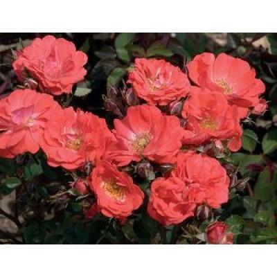 Роза (Rose Coral Drift C1,5 20-25)