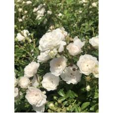 Роза (Rose Crystal Fairy C1,5 20-25)