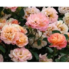 Роза (Rose Cubana C1,5 20-25)