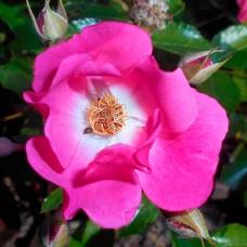 Роза (Rose Floriade 2002 C1,5 20-25)
