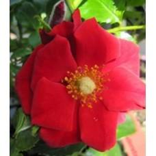 Роза (Rose Gloed C1,5 20-25)