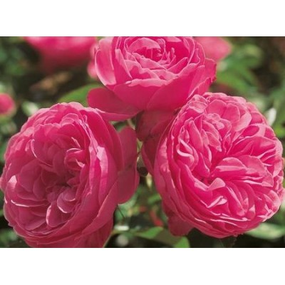 Роза (Rose Leonardo da Vinci C1,5 20-25)