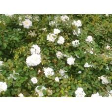 Роза (Rose Pearl Meidiland C1,5 20-25)