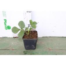 Земляника садовая (Fragaria/Pineberry ananassa Albion P9)