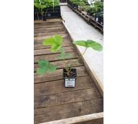 Земляника садовая (Fragaria/Pineberry ananassa Darselect P9)