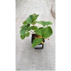 Земляника садовая (Fragaria/Pineberry ananassa Elianny P9)