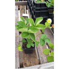 Земляника садовая (Fragaria/Pineberry ananassa Elvira P9)