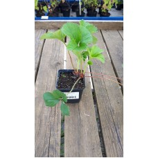 Земляника садовая (Fragaria/Pineberry ananassa Florence P9)