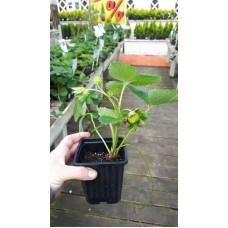 Земляника садовая (Fragaria/Pineberry ananassa Korona middle P9)