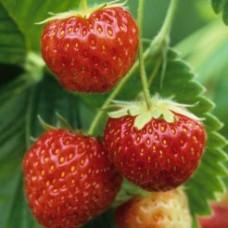 Земляника садовая (Fragaria/Pineberry ananassa Mieze Schindler P9)