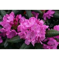 Азалия/Рододендрон катевбинский (Rhododendron catawbiense Roseum Elegans C1)