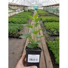 Сирень обыкновенная (Syringa vulgaris Montaigne P9)