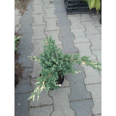 Можжевельник китайский (Juniperus chinensis Expansa Variegata C2)