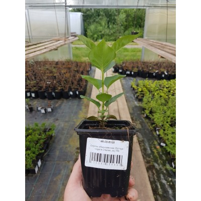 Сирень обыкновенная (Syringa vulgaris Charles Joly P9)