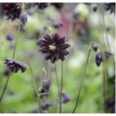 Аквилегия/Водосбор/Орлики обыкновенная (Aquilegia vulgaris Black Barlow C2)