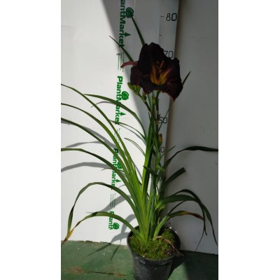 Лилейник (Hemerocallis Black Stockings C2)