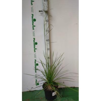 Луговик дернистый (Deschampsia cespitosa Tautrager C2)