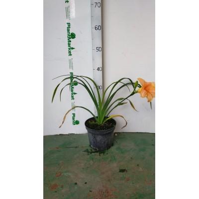Лилейник (Hemerocallis Serena Sunburst C2)