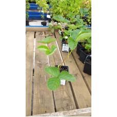 Земляника садовая (Fragaria/Pineberry ananassa Honeoye P9)