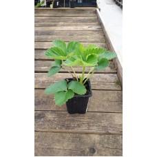 Земляника садовая (Fragaria/Pineberry ananassa Senga S. P9)