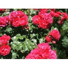 Роза (Rose Gartnerfreude C1,5 20-25)