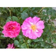 Роза (Rose Magic Meidiland C1,5 20-25)