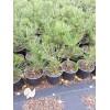 Сосна гельдрейха (Pinus heldreichii Compact Gem C1,5)